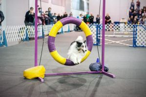 Agility - Sheltie by petrichore