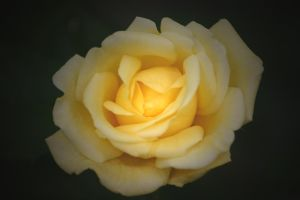 Yellow Rose 4 by ShareLife