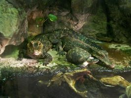 Dwarf Crocodiles by ZoPteryx