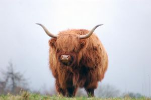 Highland Cattle by fremlin