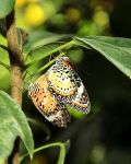 Lacewings, Mating by TheSleepyRabbit