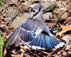 Sunbathing Blue Jay by ShadeeWolf