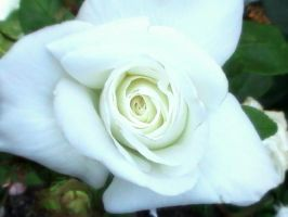 White Rose by StellaWindwalker