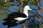 Duck reflected 1 - Maui by wildplaces