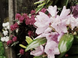 rhododendrons bloom by snusmumrikenn