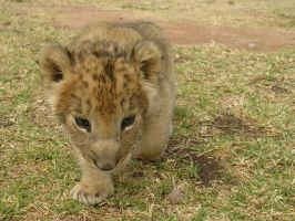 Lion Cub by drwhofreak
