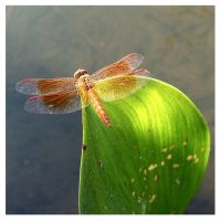 Dragonfly perched at lakeside by kiew1
