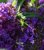 Speckled Bush Cricket 2 by Forestina-Fotos