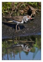 Three-Banded Plover by MrStickman