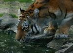 Siberian Tiger by Eariell