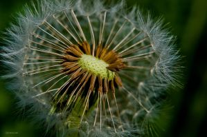 Dandelion by Rayon2lune