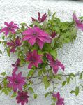 Climbing clematis by piglet365