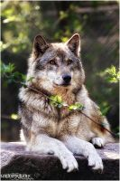 Grey Wolf.: Portrait:. by WhiteSpiritWolf