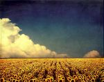 sunflower fields by marielliott