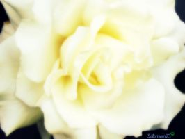 Roses are white by sailormoon23
