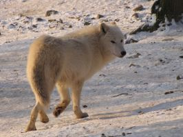 North American Arctic Wolf 102 by animalphotos