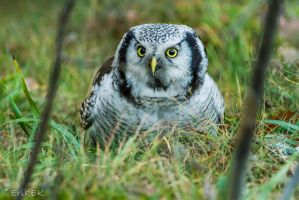Northern Hawk Owl 6 by ErikEK