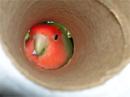 Lovebird playing by blet