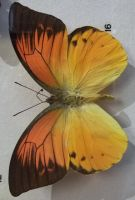 Orange and Black Butterfly by specialoftheweek