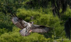 Osprey with fish by AForns