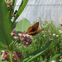 Great Spangled Fritillary 2 by Critterinthedryer