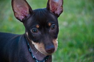 Miniature Pinscher by terryrunion