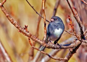 Junco beside the apple bud by clippercarrillo