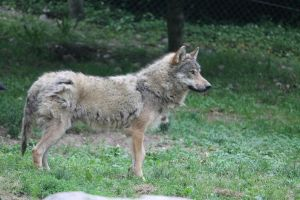 Wolf 7 by Linay-stock