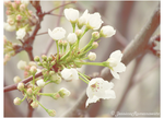 Popcorn on the Apricot Tree. by xBergen