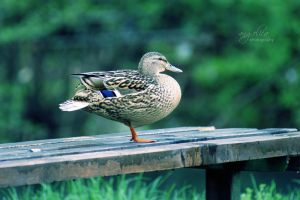 Ducky by groby