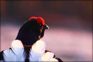 Black Grouse Observing by Starfall00