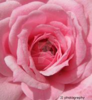 Pink Rose Bud by JJPhotography08