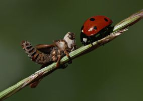 grasshopper and ladybug by lisans