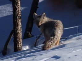 Not So Wily Coyote by drigulch
