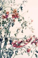 frosty roses by lilitium