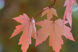Maple leaves by FrankWolfePhotograph
