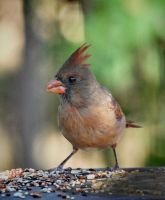 Female Cardinal 10-4-11 by Tailgun2009
