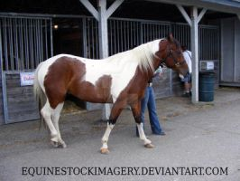 Paint Horse 68 by EquineStockImagery