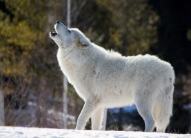 Howling Arctic Wolf by Eternalfall1