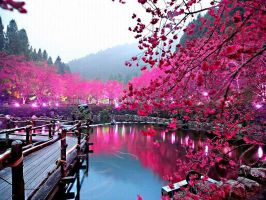 Cherry Blossoms 3 by Octavain