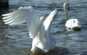 .Swan wings 3. 0051 by DelinquentDog