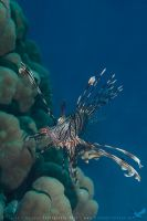 Lionfish by linneaphoto
