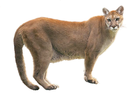 Cougar PNG by LG-Design