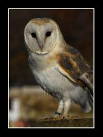 barn owl twoo by sandyprints