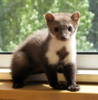 My marten - 1 by Zengel