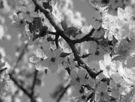 cherry blossoms by Lizalainx3