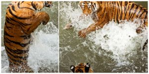 Tigers water wrestles by DANIELMRK