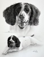 Commission - Springer Spaniel 'Trio' by Captured-In-Pencil