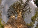 Pine Tree HDR by flashproduction