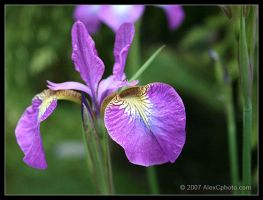 Flower by AlexCphoto